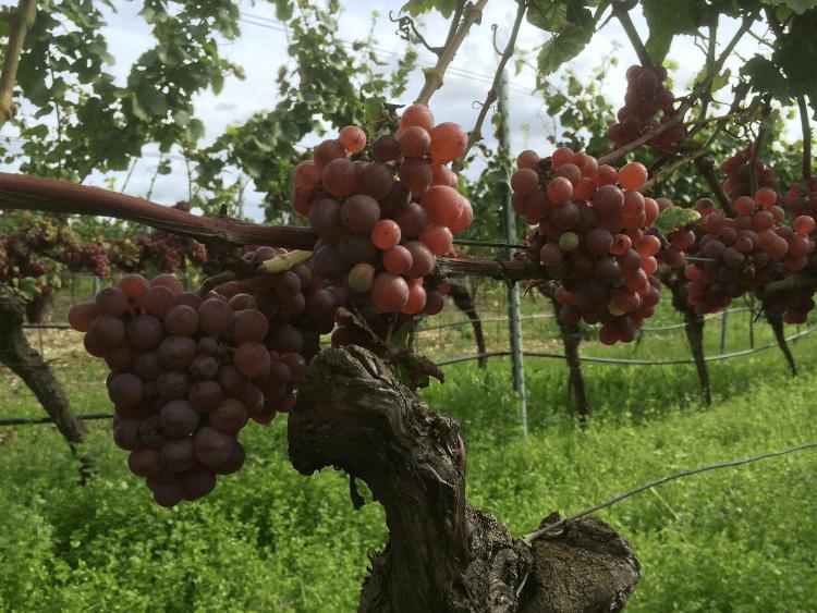 czerwone, dojrzałe winogrona z Weingut Lukas Kesselring